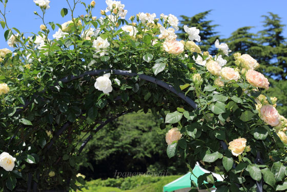 エメラルドアイルはつる性で枝は200cm程に伸びます