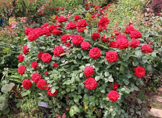 イングリッドバーグマンは緋赤色のバラ
