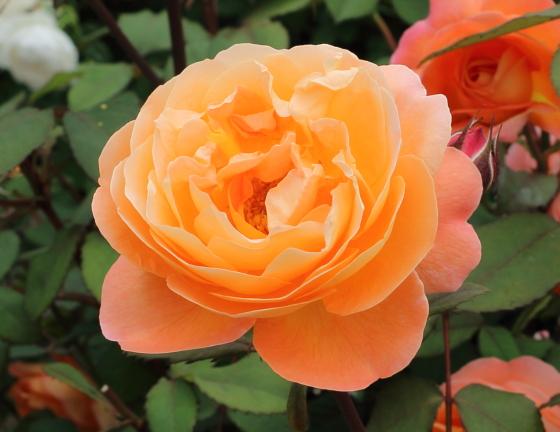 レディエマハミルトンはシュラブ系統のバラ