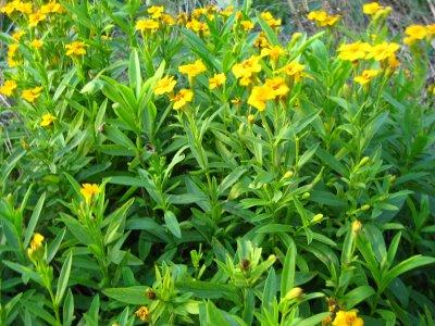 ミントマリーゴールドはキク科の多年草