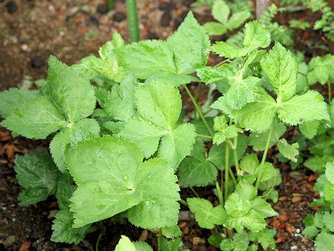 ミツバは草丈約40cm程