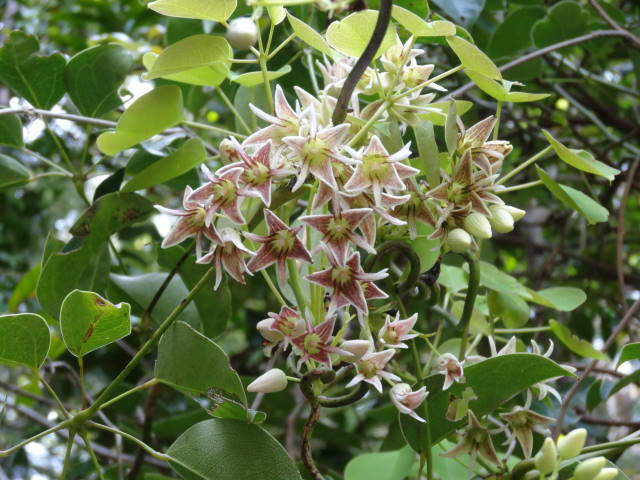 ムベはつる性常緑低木