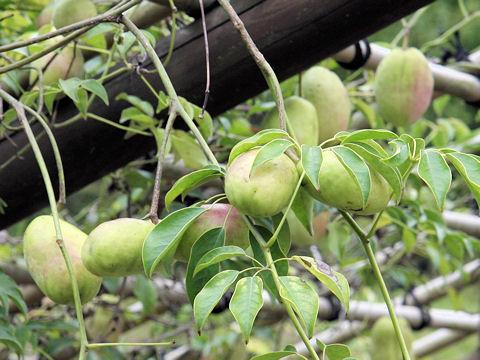 ムベの果実は長楕円形です