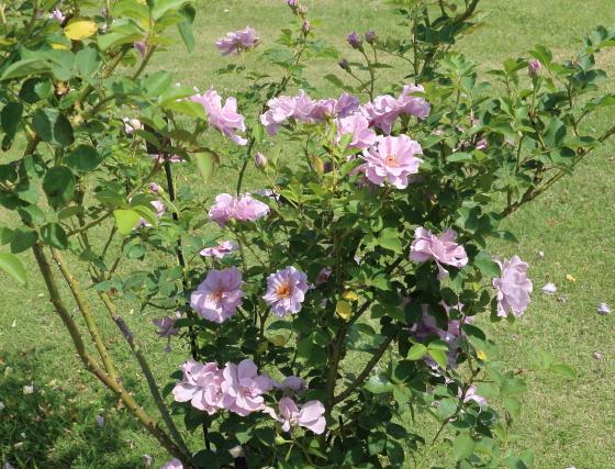 紫の園はラベンダー色