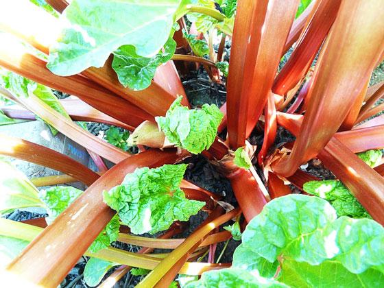 ルバーブは野菜です