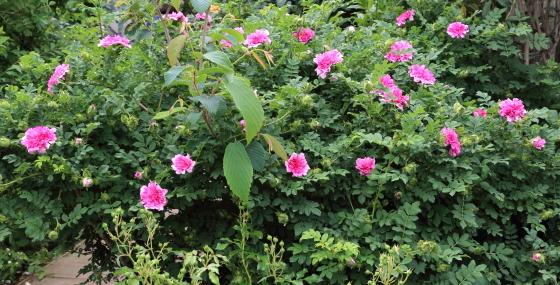 イザヨイバラはローズ色のバラ