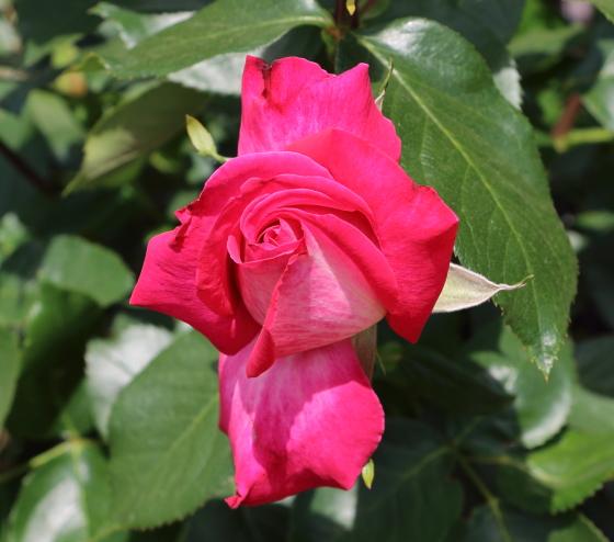 濃いローズ色の花弁に白い刷毛目模様が入る