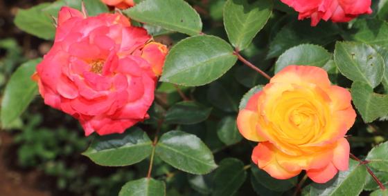 ルンバは半剣弁カップ咲き