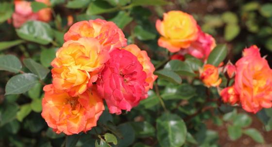 ルンバは四季咲き性です