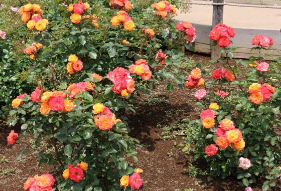 ルンバは中輪サイズのバラ