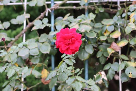 赤色のつるバラです