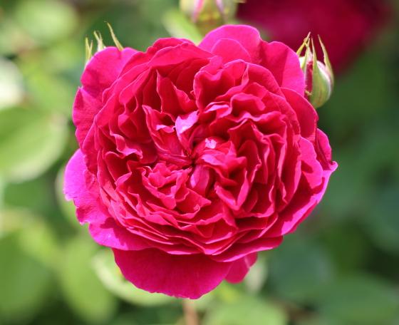 黒赤色のクォーター・ロゼット咲き
