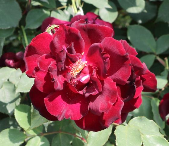 夜の調べは四季咲き性のバラ