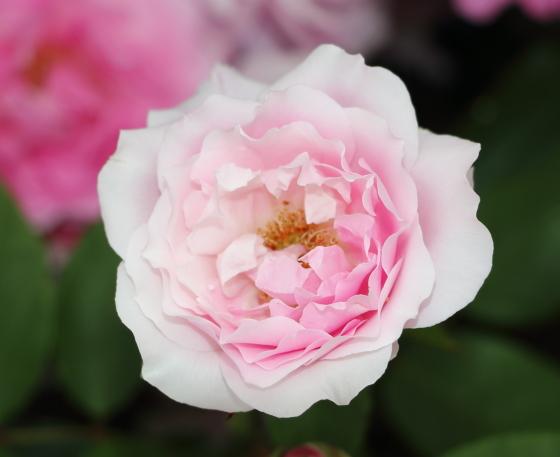 花弁は繊細で雨などで傷みやすい