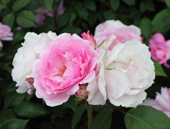 ピンク色のカップ咲き