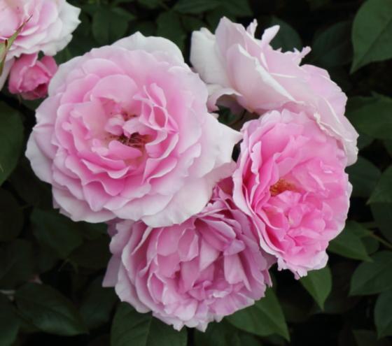 夢香はフロリバンダ系統のバラ