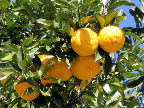 ユズは柑橘類です