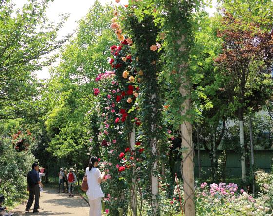 京成バラ園のつるバラ 風景