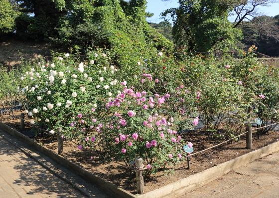 生田緑地ばら苑の四季咲き品種