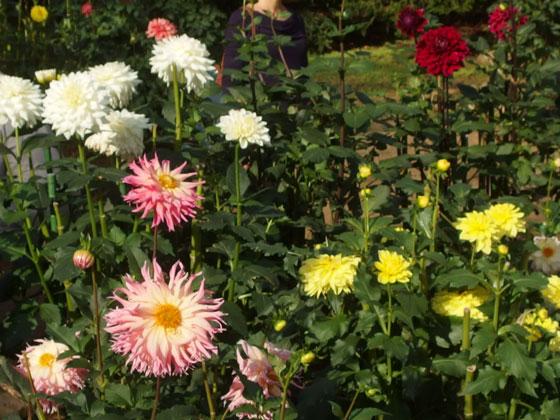 神代植物公園のダリア園の風景