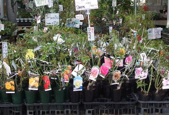 京成バラ園のバラ苗即売会