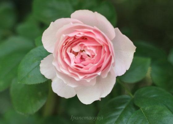 アントニオガウディは淡い桃色のつる性バラです