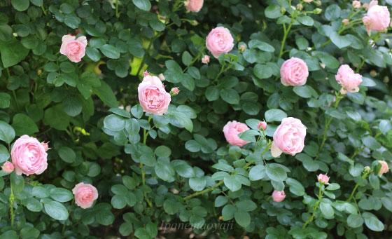 花枝は短く前年の枝に花を咲かせます