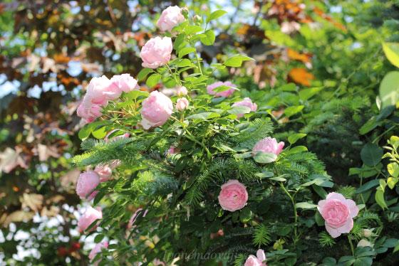 花弁は丈夫で雨などでも傷みにくいので長期間の開花を楽しめます