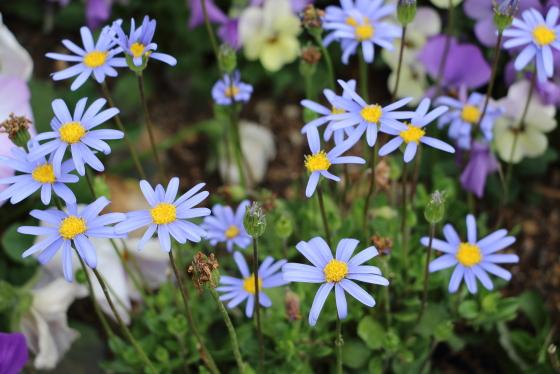 ブルーデージーは春の草花です
