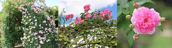 つるバラの咲いている風景