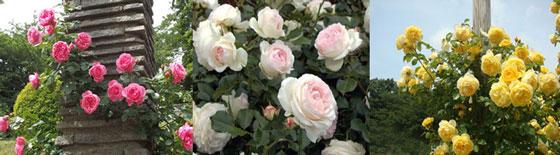 春の生田緑地ばら苑で咲いていたつるバラ