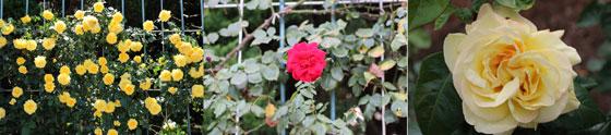春の神代植物公園で咲くつるバラたち