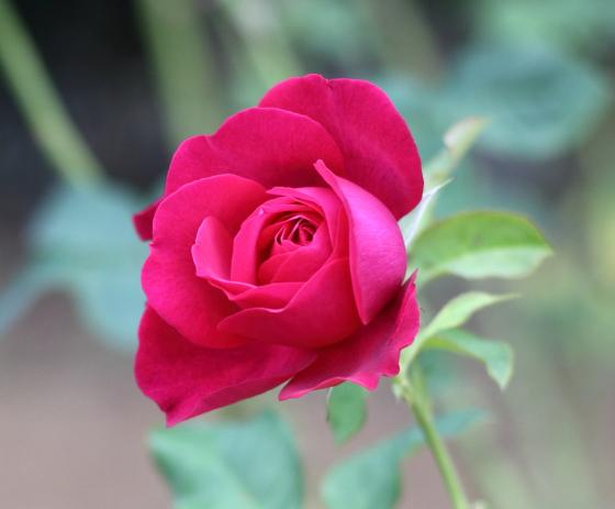 バラ・ゲーテローズはダマスク系の芳香が強い