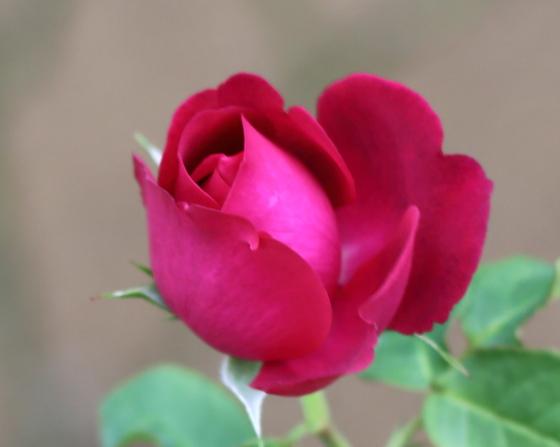 濃いローズ色の花弁は光沢がありますね