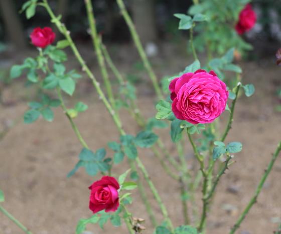 バラのゲーテローズはシュートの生育が早くて真っ直ぐに伸長する