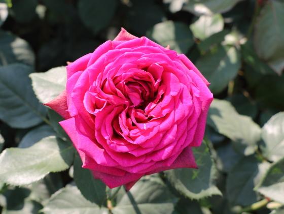 グレーフィンディアナの花径は11cm前後の大輪咲き