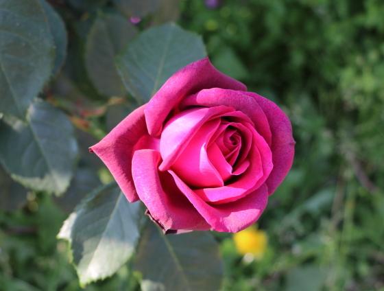 ツボミの時期はカップ咲きのような花形ですね