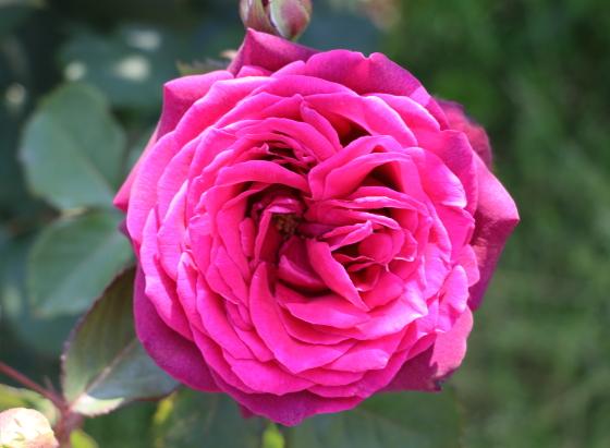 グレーフィンディアナの花形は半剣弁咲き
