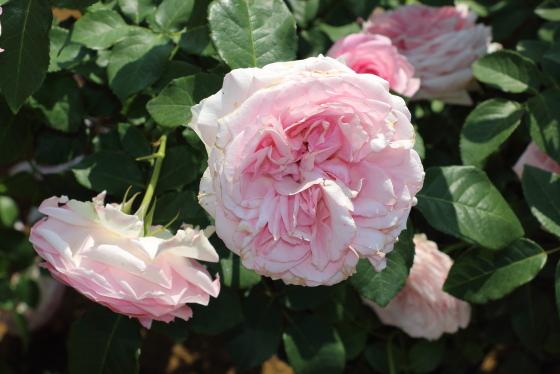 春乃はフロリバンダ系統のバラ
