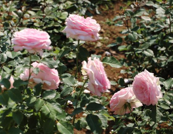春乃は花首が長く生け花用にも使えます