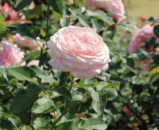 春乃はイングリッシュローズのような雰囲気のバラ