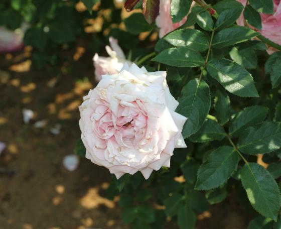 春乃は見事なロゼット咲きになる
