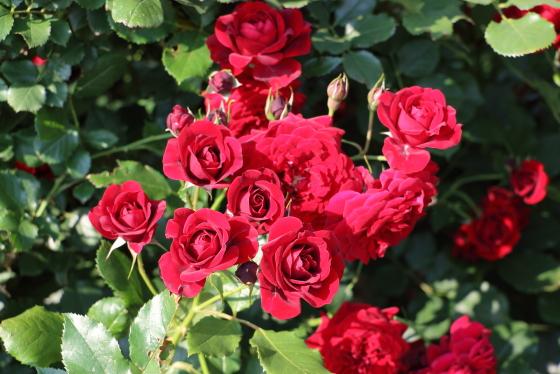 黒蝶は数あるバラの中でも特に花もちがよい