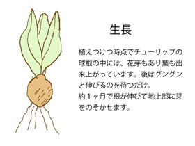 球根の生長期 イラスト図
