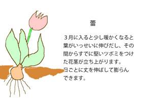 球根の蕾が出る時のイラスト図