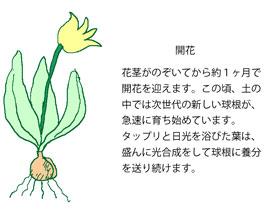 チューリップが開花した