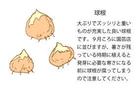 よい球根を選びましょう イラスト図