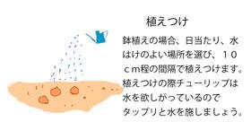 球根を植えつける イラスト図