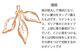 塊根(かいこん)