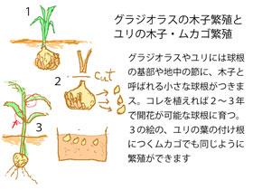 木子やムカゴの繁殖 イラスト図